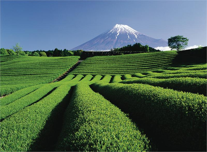 Tea Plantation and Mt